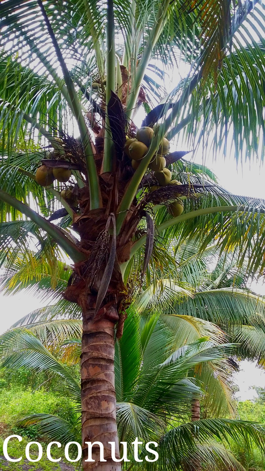 Coconut Tree with the drupes